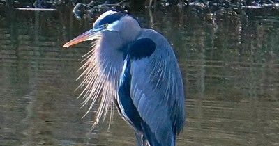 The Pacific Great Blue Heron is just on example of the many kinds of wildlife the Mountainaire Avian Rescue Society treats